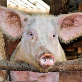 Pig Pen - a gift to help a struggling Kenyan grandma start her own small pig farm