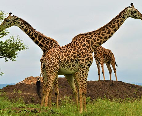 Early morning game drive-Maasai village excursion